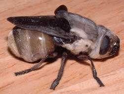 Human Bot Fly